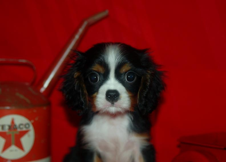 Tri Colored male cavalier king charles spaniel arkansas for sale