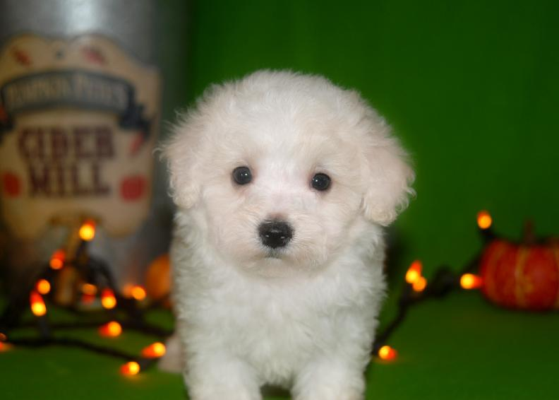 Bichon frise female puppy for sale in arkansas