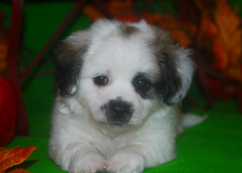 sable and white teddy bear male puppy for sale in arkansas bichon frise shutzu zuchon