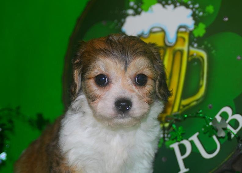 sable and white cavachon male puppy for sale in arkansas