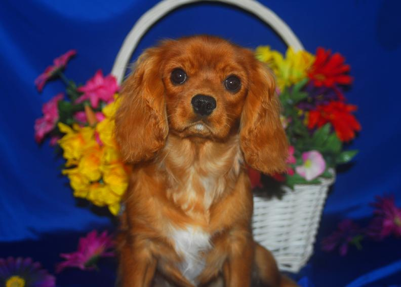 Ruby male puppy cavalier king charles spaniel for sale in arkansas